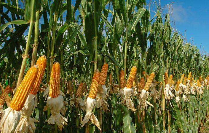 cultivo del maíz